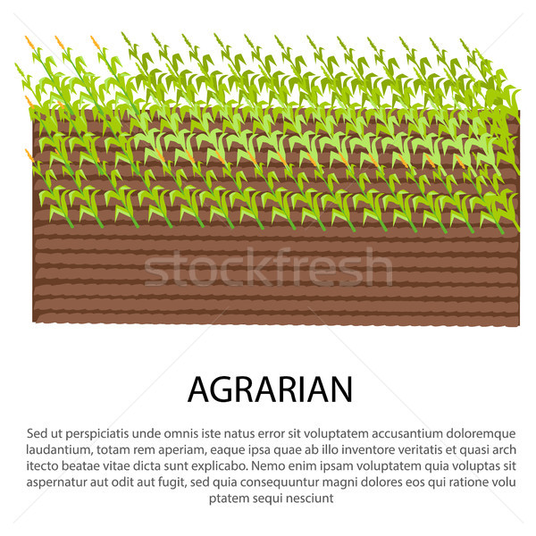 Agrarian Poster with Growing Corn Plants Stock photo © robuart