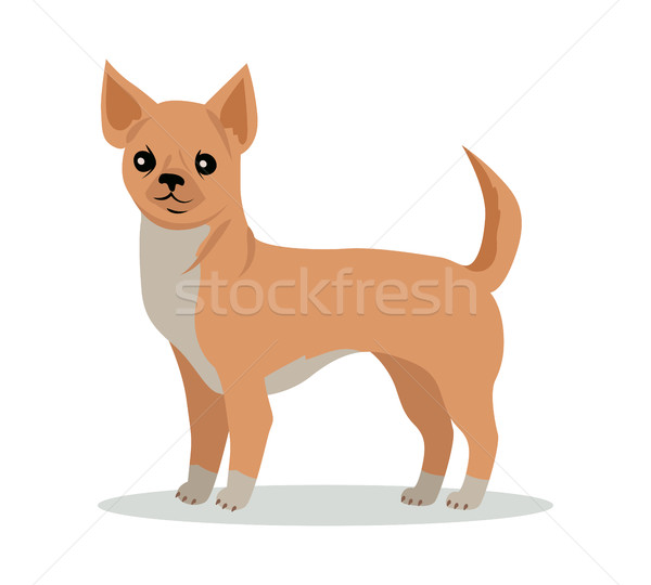 Chihuahua Dog Breed Vector Flat Design Illustration Stock photo © robuart