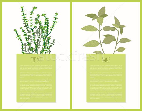 Sauge épices texte échantillon feuilles vertes Photo stock © robuart