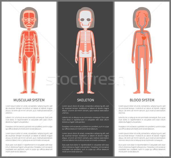 Muscular and Blood Systems Skeleton Silhouette Stock photo © robuart