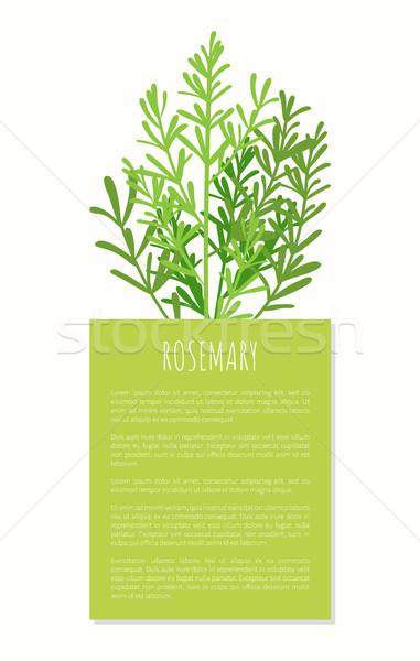 Rosmarino aroma impianto isolato bianco gustoso Foto d'archivio © robuart