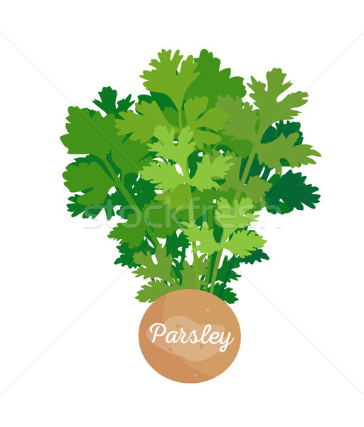 Parsley Poster and Spice, Vector Illustration Stock photo © robuart