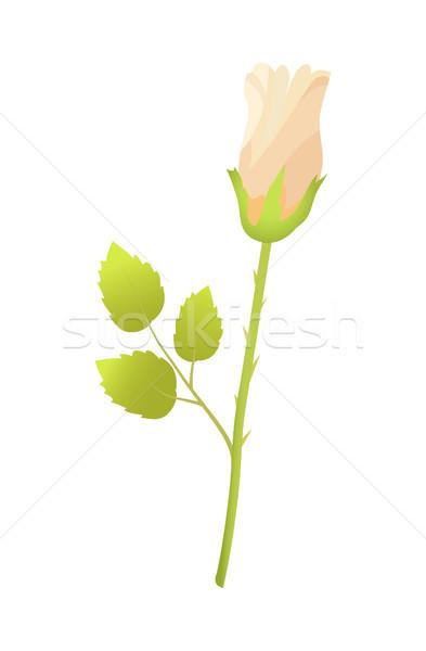 Bej gül çiçek kapalı tomurcuk yeşil yaprakları Stok fotoğraf © robuart