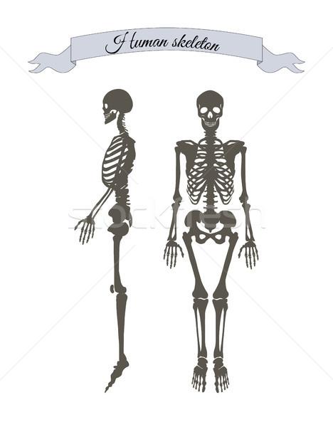 человека скелет баннер заголовок лента организм Сток-фото © robuart