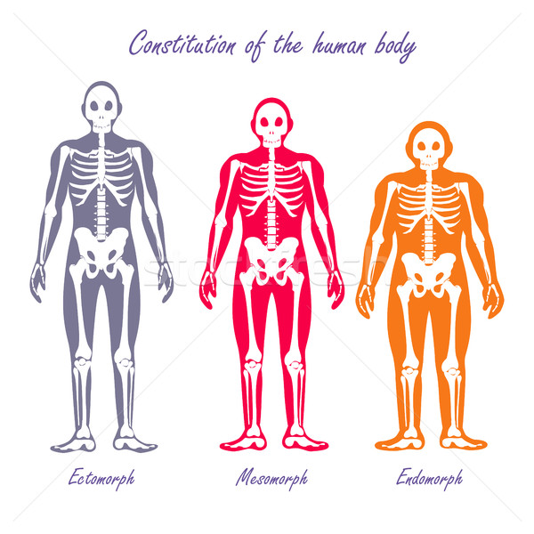 Emberi test alaptörvény terv vektor anatómia Stock fotó © robuart