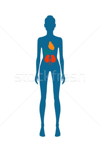 Vrouwelijke lichaam nier hart verschillend kleuren Stockfoto © robuart