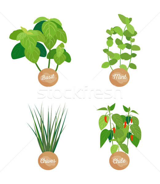 Basil and Mint, Chives Chile Vector Illustration Stock photo © robuart