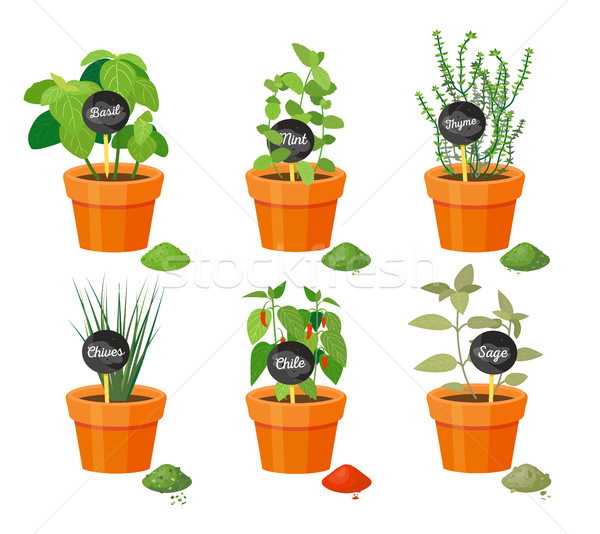Basil and Thyme Collection Vector Illustration Stock photo © robuart
