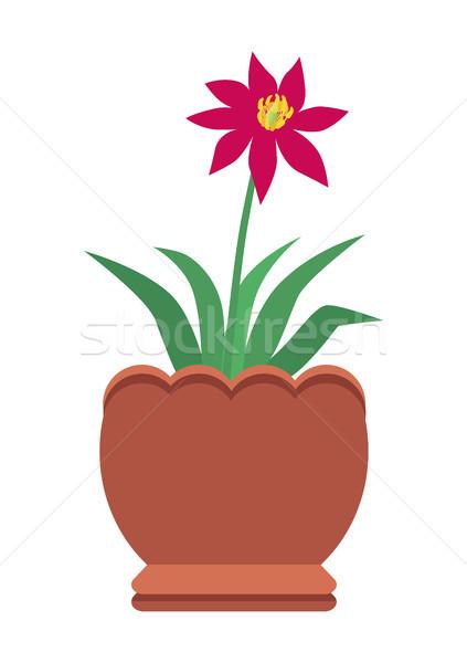 Hibiscus lumineuses rouge fleur grand argile Photo stock © robuart