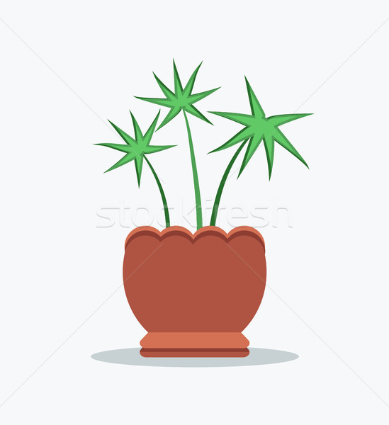 Pachira Indoor Plant in Clay Pot with Wavy Edge Stock photo © robuart