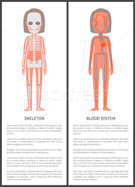 Skeleton and Blood System Vector Illustration Stock photo © robuart