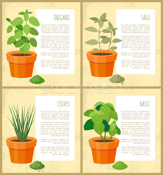 Oregano and Sage, Basil and Chives, Vector Banner Stock photo © robuart