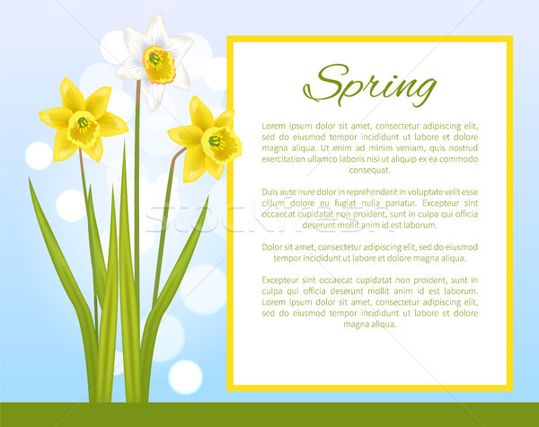 Spring Flower Poster with Text Daffodil Narcissus Stock photo © robuart
