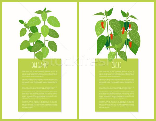 Oregano Chile növények izolált vektor kártyák Stock fotó © robuart