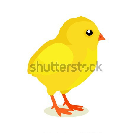 Spring Yellow Chicken Isolated on White Background Stock photo © robuart