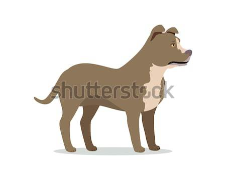 American Pit Bull Terrier Isolated on White Stock photo © robuart