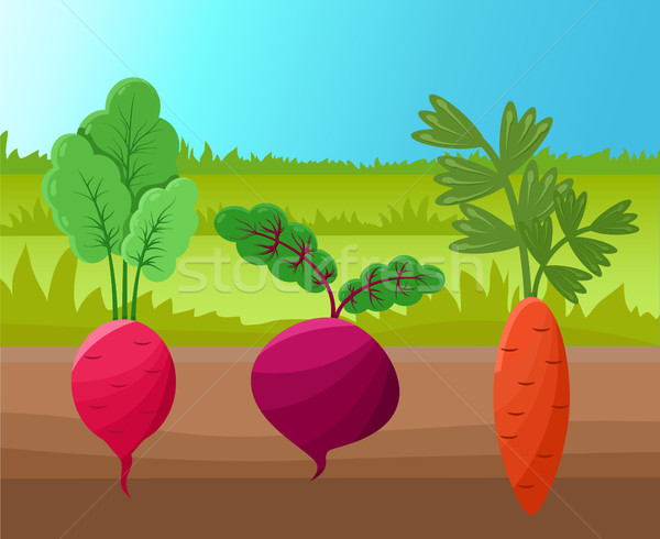 Carrot Radish and Beetroot Vector Illustration Stock photo © robuart