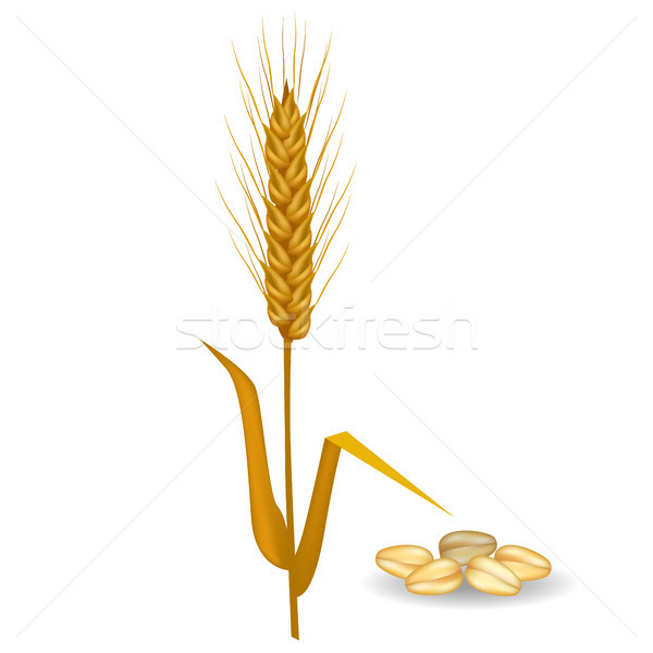 Barley Ear near Pile of Grains Poster on White Stock photo © robuart