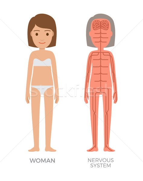 Woman Nervous System Colorful Biological Poster Stock photo © robuart