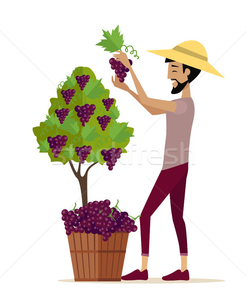 Man Picking Grape During Wine Harvest Stock photo © robuart