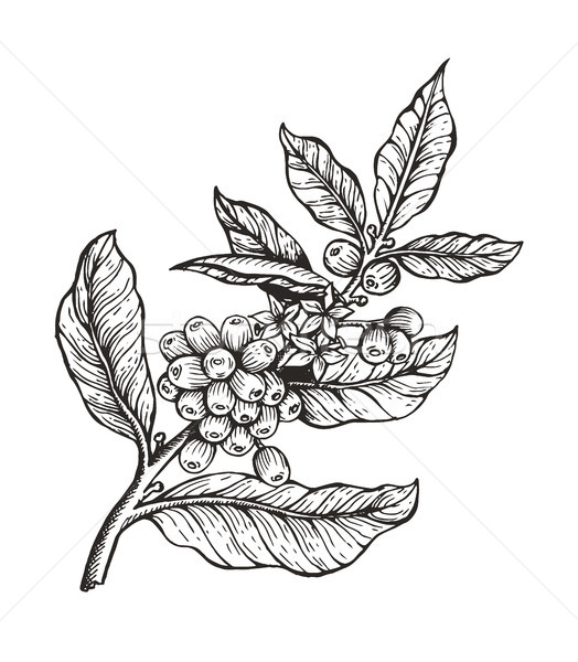 Coffee Tree with Beans Coffea Vector Illustration Stock photo © robuart