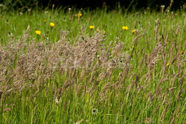 Prairie herbe luxuriante herbe verte été ciel Photo stock © rogerashford