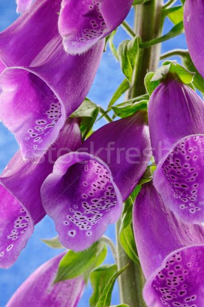 çiçekler çiçek su yağmur mavi Stok fotoğraf © rogerashford