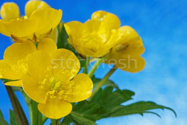 Soleil ciel bleu ciel herbe feuille jardin Photo stock © rogerashford