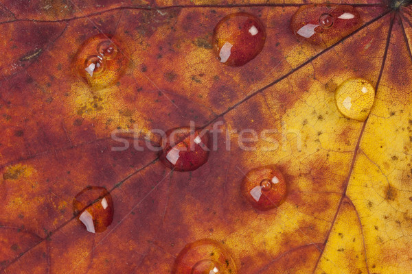 Raindrops on an Autumn Leaf Stock photo © rogerashford
