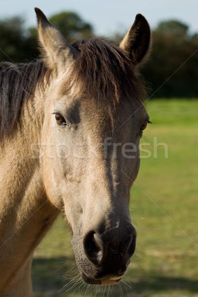 Portrait of a Connemara Pony Stock photo © rogerashford