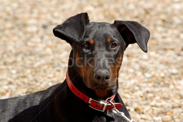 Portriat of a Young Doberman Stock photo © rogerashford