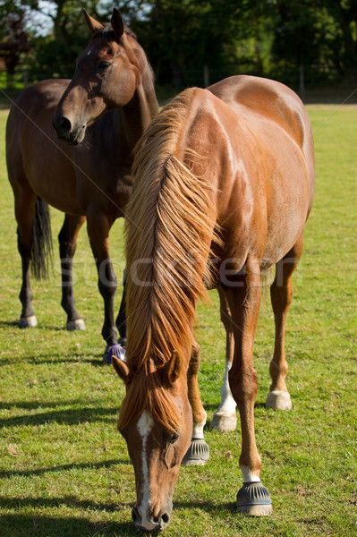 Young Thoroughbred Horse Grazing Stock photo © rogerashford