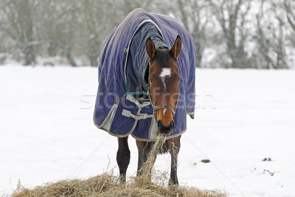 Thoroughbred Horse Eating Hay in Snow Stock photo © rogerashford