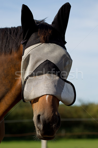Thoroughbred Horse in a Fly Mask Stock photo © rogerashford