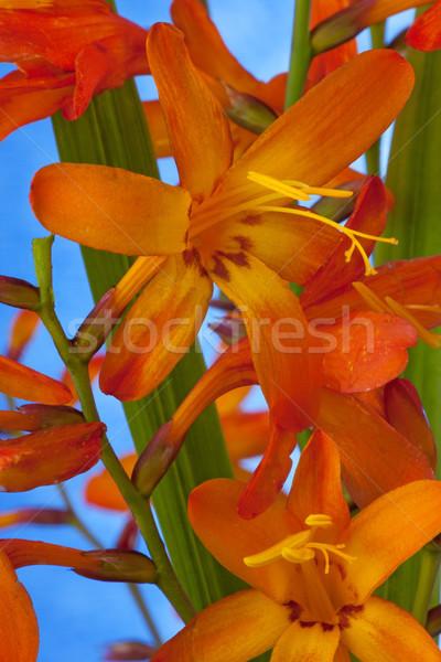 Fleur ciel feuille beauté orange Photo stock © rogerashford