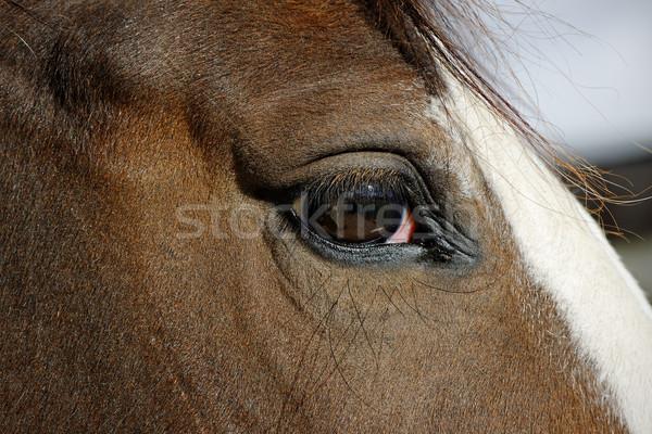 馬 眼 小さな 動物 マクロ ストックフォト © rogerashford