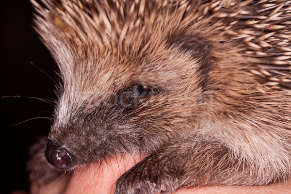 Baby Hedgehog Stock photo © rogerashford