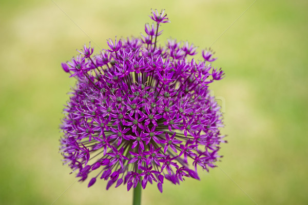 Stock fotó: Lila · közelkép · virág · ki · fókusz · fű