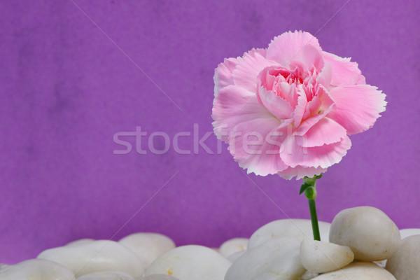 カーネーション 砂利 ピンク ベッド 自然 光 ストックフォト © rogerashford