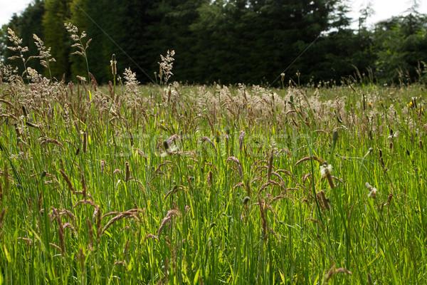 草原 草 豊かな 緑の草 夏 空 ストックフォト © rogerashford