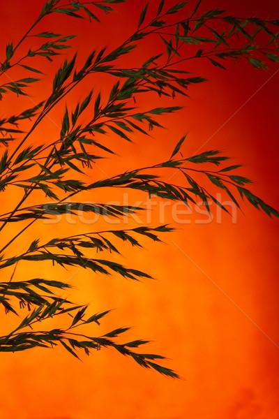 Herbe coucher du soleil semences ciel nature Photo stock © rogerashford