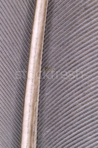 Stok fotoğraf: Güvercin · tüy · aşırı · makro · sığ