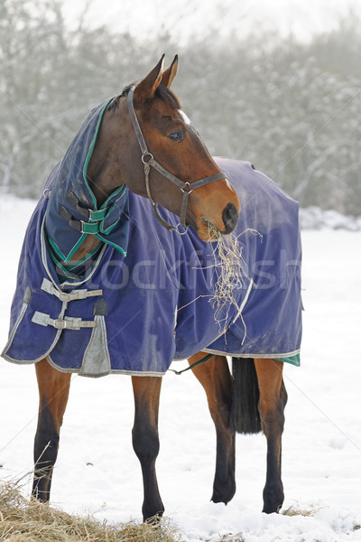 Stock photo: Thoroughbred Horse Eating Hay in Snow