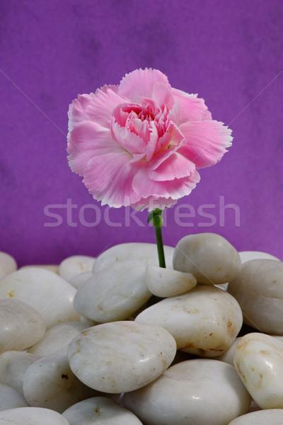 Nelke Kieselsteine rosa Bett Natur Licht Stock foto © rogerashford