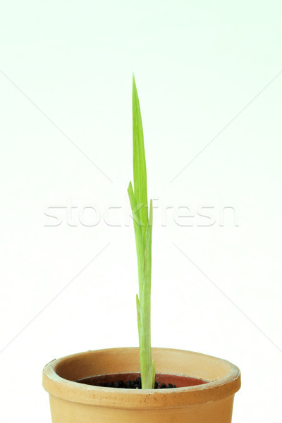 Semis usine pot blanche bébé nature Photo stock © rogerashford