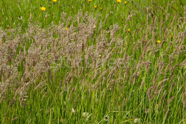 çayır çim bereketli yeşil ot yaz gökyüzü Stok fotoğraf © rogerashford