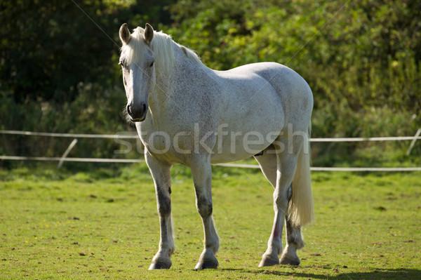 White Horse in a Paddock Stock photo © rogerashford