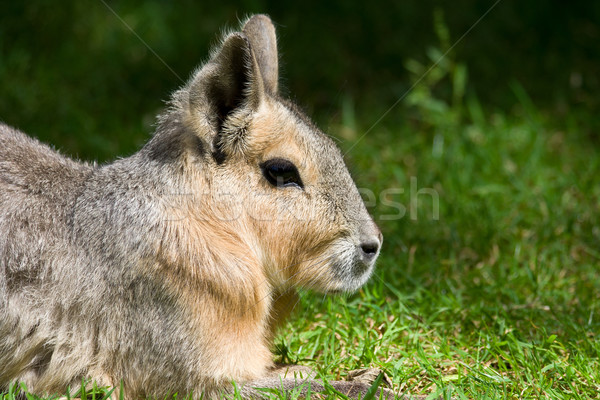Patagonian Mara Stock photo © rognar