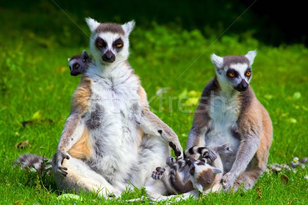 Lemur Catta Family Stock photo © rognar