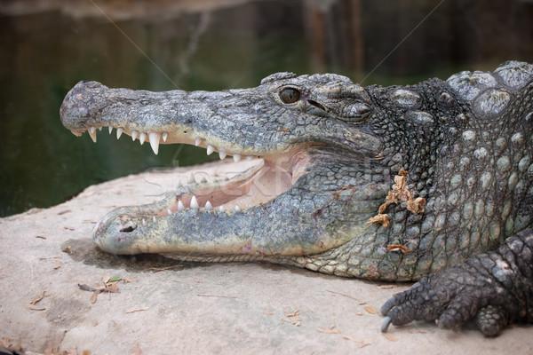 Nile Crocodile Head Closeup Stock photo © rognar